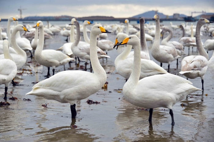 Swans play on a lake on November 28, 2014 in Rongcheng, China.    Several tens of thousands of swans migrating from Siberia converged in Rongcheng to pass the winter recently.