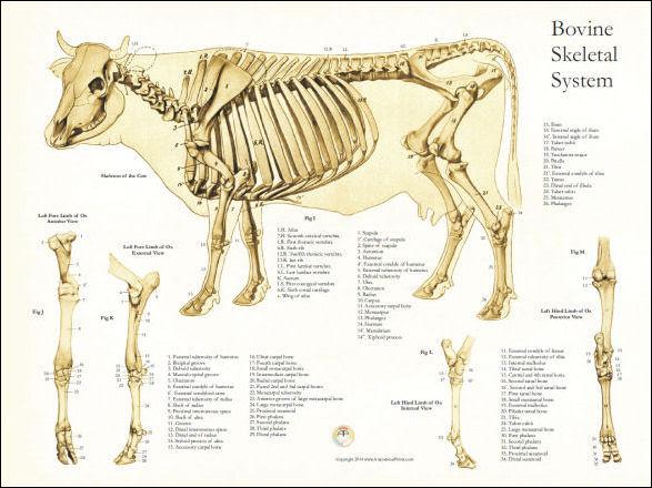 CowSkeletalAnatomy18x24