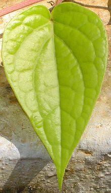 Selembar daun sirih