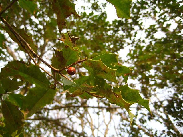 wild holly trees