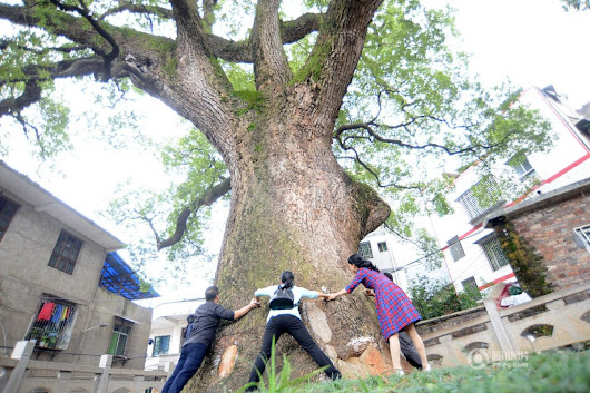 "China Xinhua News on Twitter: ""1210-year-old camphor tree in C China, 2.89 m in diameter. To encircle it, 8 adults have to join hands """