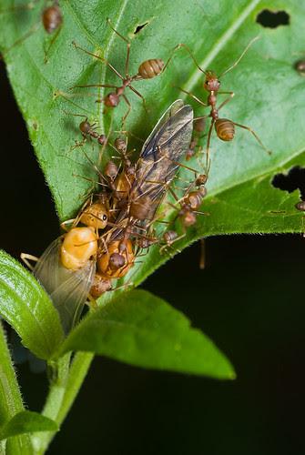 Two weaver ant queens? DSC_0187 copy