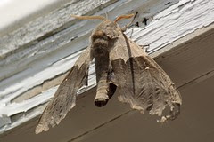 Modest Sphinx moth (3)