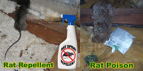 How to Get Rid of Rats in House, Building, Attic   Without Poison
