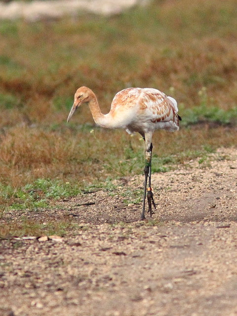 Whooping Crane 15-12 Cypress male 20130106