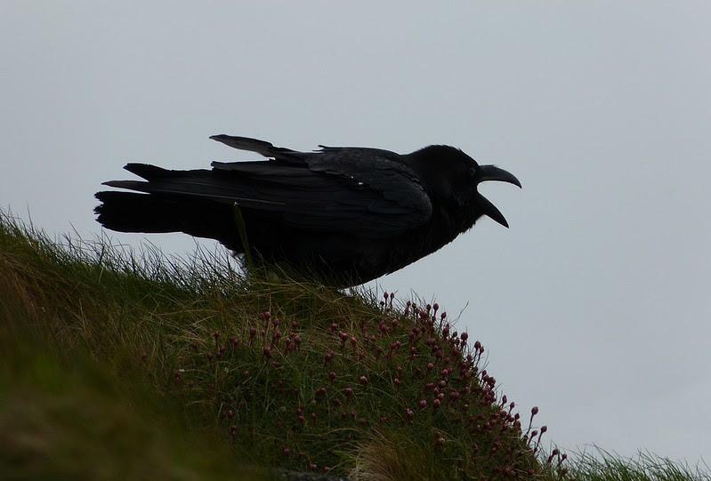 P1040827 - Raven, Mumbles Head