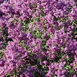 Can I Cut Down a Lilac Bush & Regrow It Better? | eHow