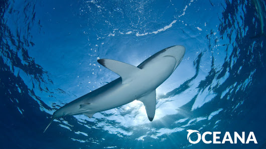 Congress: Ban the Trade of Shark Fins in the U.S.