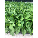 Symphyotrichum prenanthoides 72 Plugs   Conservation Quality Plants by ArcheWild