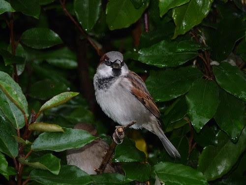 11778 - House Sparrow at WWT Llanelli