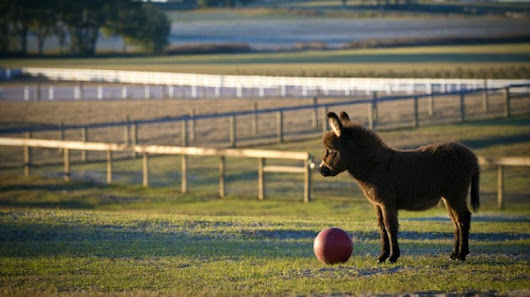 Miniature Donkeys For Your Homestead | Homesteading