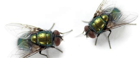 Flies   Facts About flies   Types of flies   PestWorldforKids.org