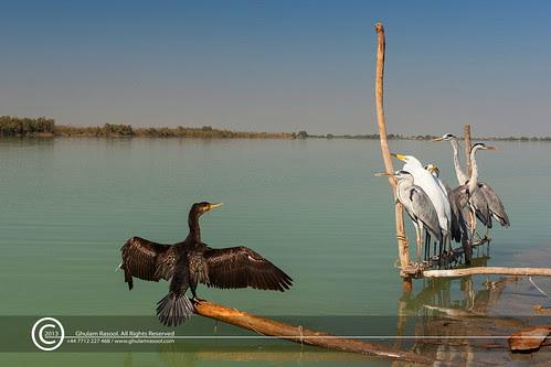 Birds-as-Live-Decoys by GHULAM RASOOL MUGHAL