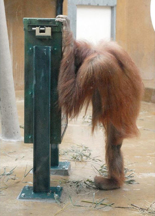 Orangutans and Their Nuts (9 pics)
