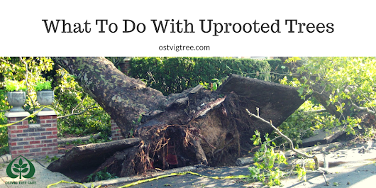 What To Do With Uprooted Trees - Ostvig Tree Care