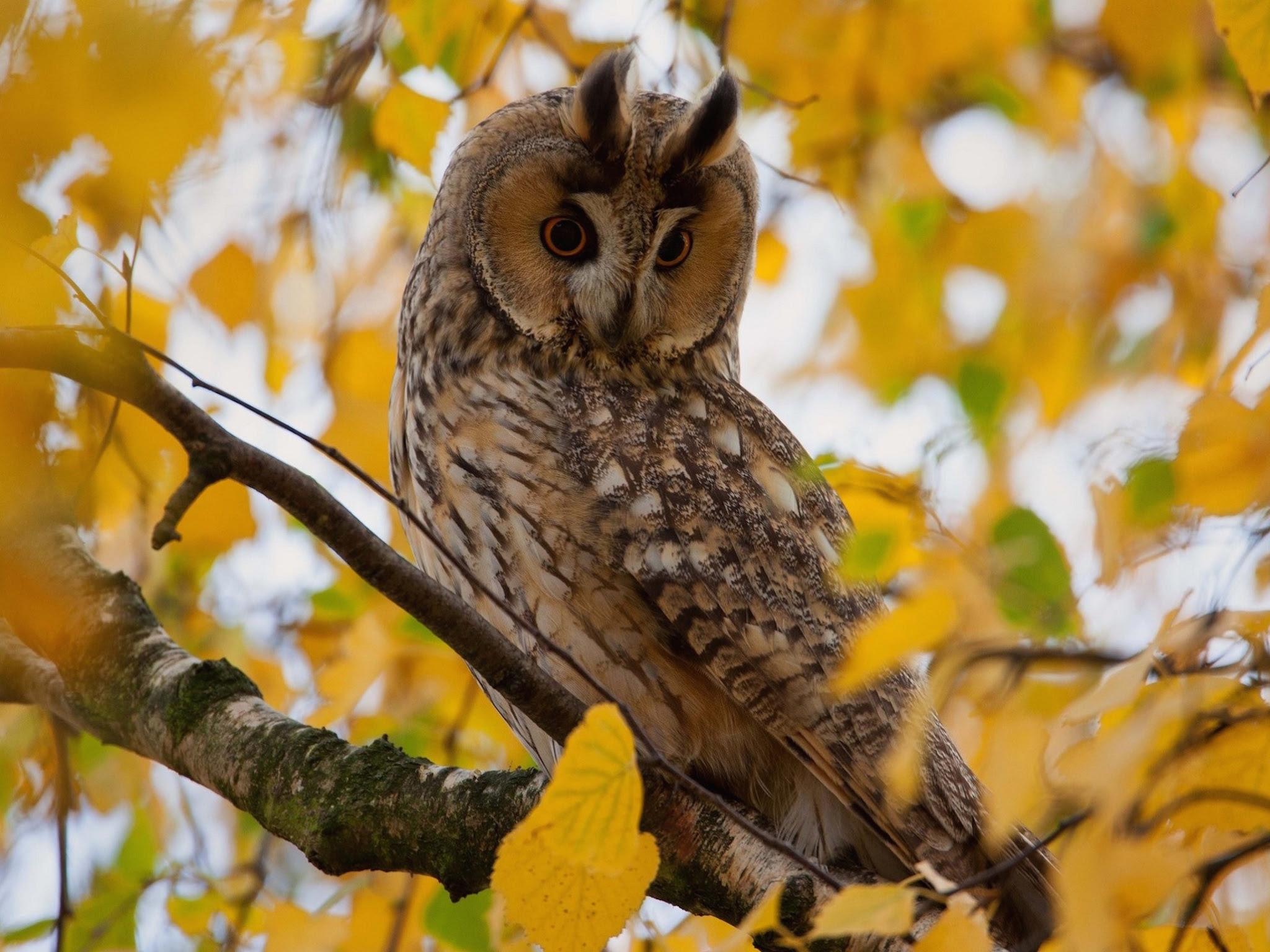 Autumn Owl Wallpaper  Free Autumn Backgrounds