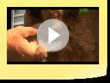Airedale Terrier  Razas perros  Terrier de talla grande  Mascotas
