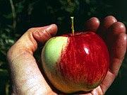 Wild Malus sieversii apple in Kazakhstan