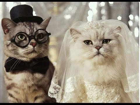 Gambar Kucing Nikah godean.web.id