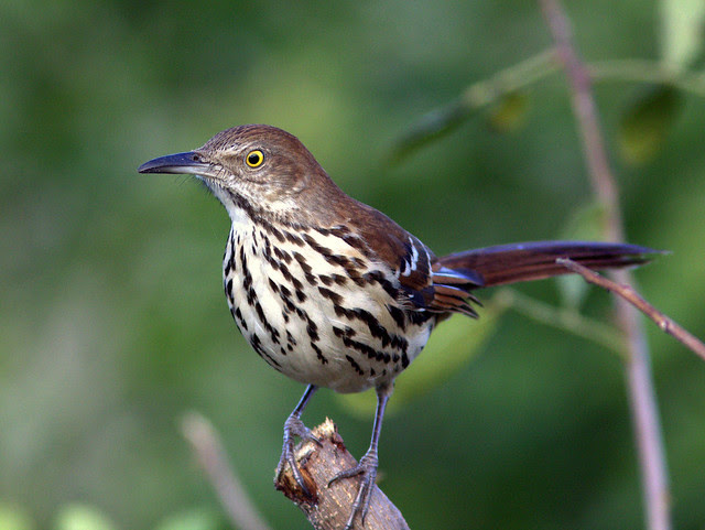 Brown Thrasher 2-20111107