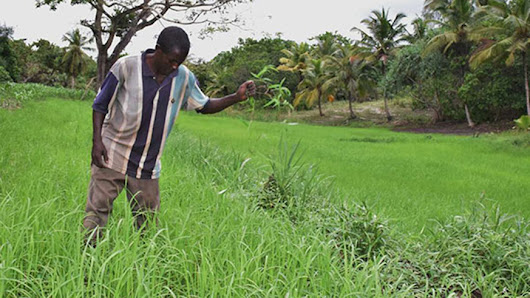 Free app to help rice farms lessen losses from weeds