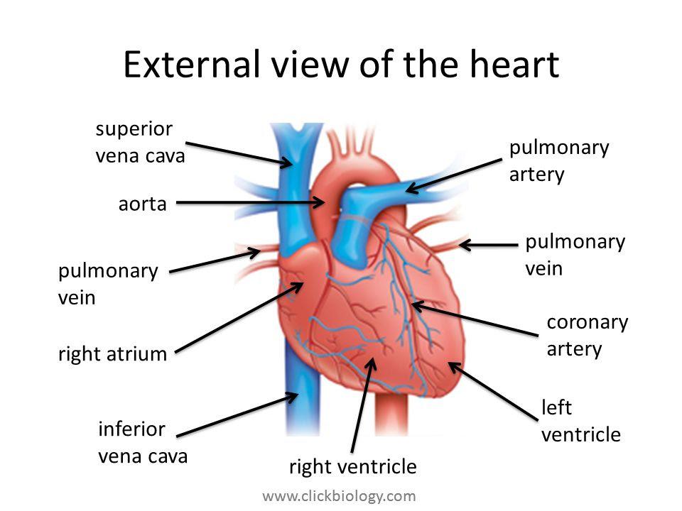 External+view+of+the+heart