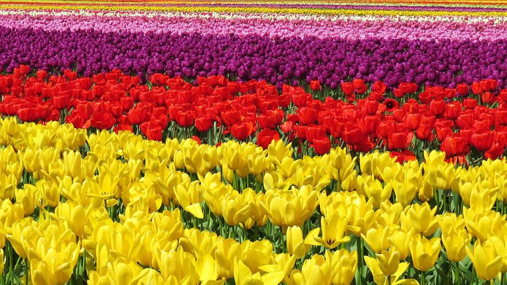 Πεδία Tulip στο Skagit Valley, κοντά στο Mt.  Vernon, Ουάσιγκτον
