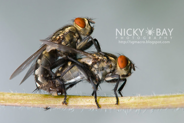 Flesh Flies (Sarcophagidae) - DSC_8563