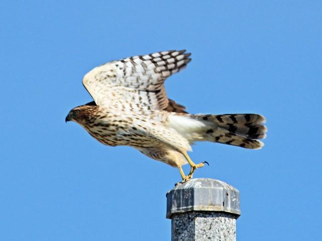 Cooper's Hawk 20130904