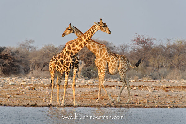 Pair of giraffes at Estosha Klein-Namutoni