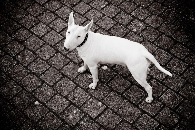 bull terrier (Foto: Flickr/Ty)