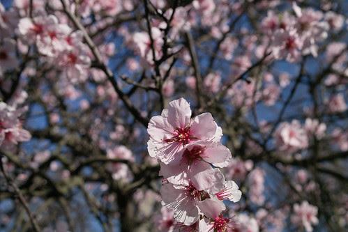 Almond blossom by i_noriyuki