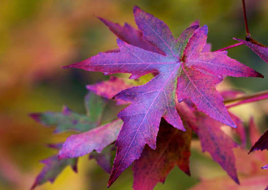 ENGLAND, UNITED KINGDOM - OCTOBER 31:  Maple leaves in autumn in England.  (Photo by Tim Graham/Getty Images)