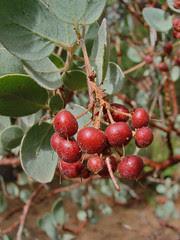 manz berries II
