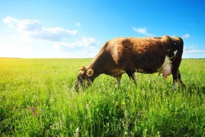 """Kale: El nuevo """"vaca vegetal""""?"""