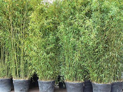 bambous.jpg