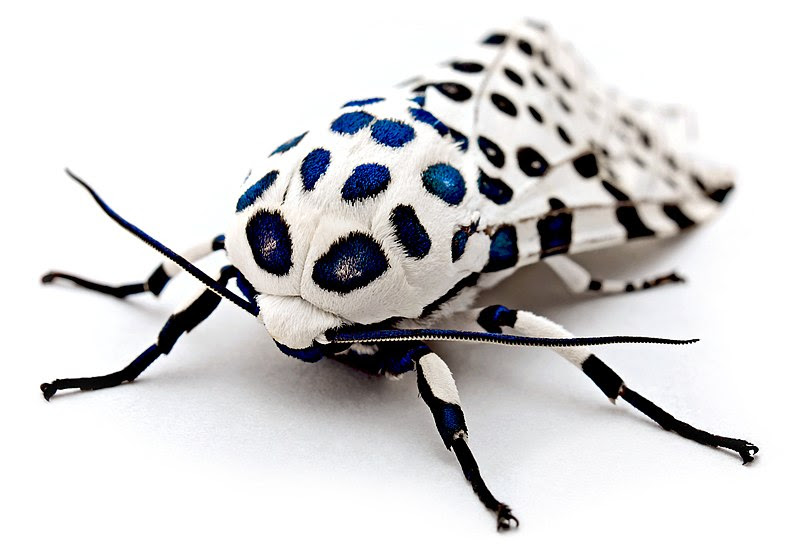 File:LeopardMothBlueSpots edit2.jpg