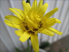 Yellow flower, unknown type