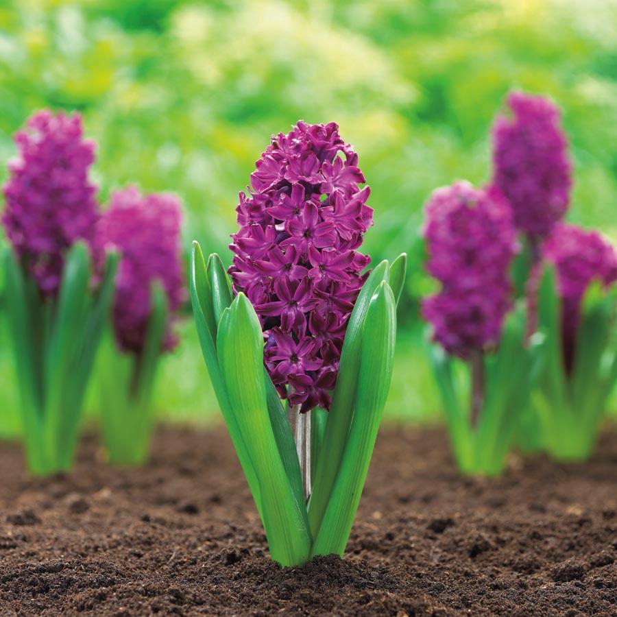 Hyacinth Bulbs,(Pink Mix) Bag of 6,15 Or 30 Bulbs-Pink ...