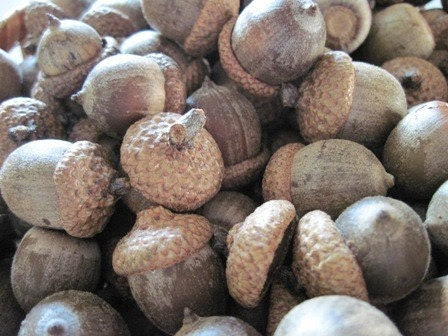 50 Natural Acorns with Caps Harvested from Pin Oak Trees