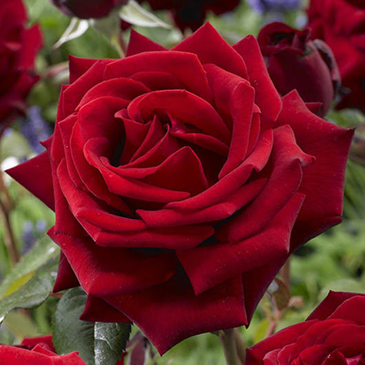 Afbeelding Mea Nursery Fragrant Red Mister Lincoln Rose 62017 The Home Depot