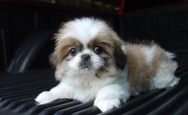 shih tzu filhote de cachorro bonito