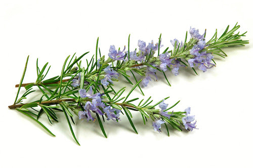 Rosemary Essential Oil ~ Powerful, Penetrating and Rising
