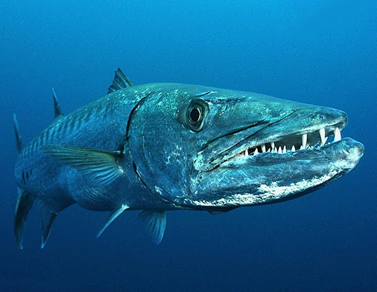 Alem-i Hayvan: Baraküda balığı