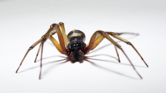 False widow spiders infestation closes two Tower Hamlets primary schools - BBC News