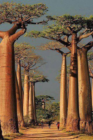 Baobab Alley - Morondava, Madagascar