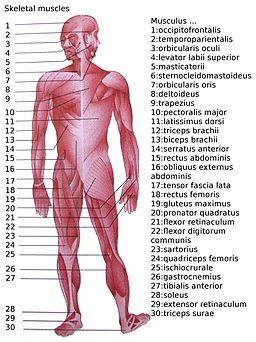 Skeletal muscles homo sapiens