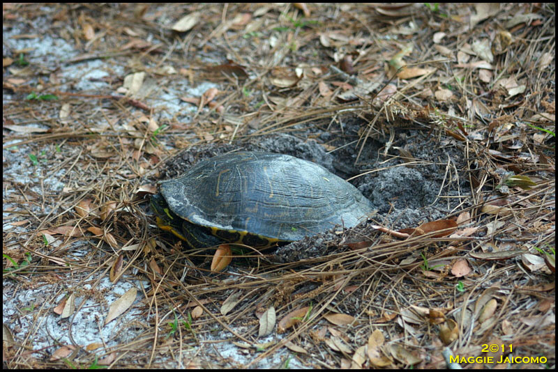 Red-slider Turtle