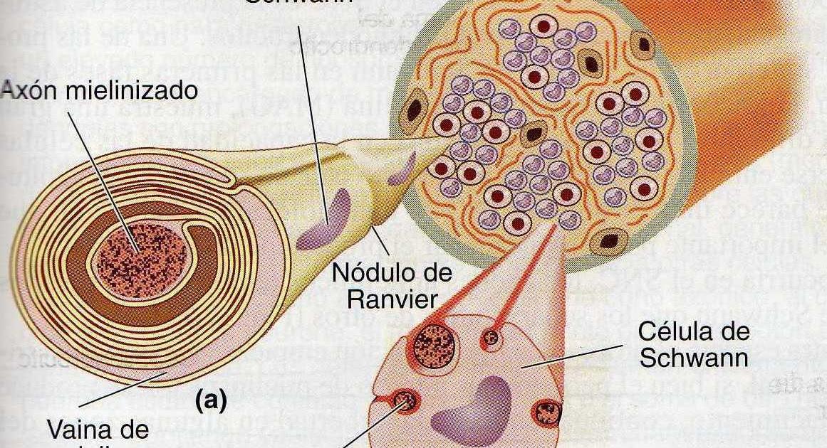 Esclerodiario empp - emsp: La manipulación de la mielina