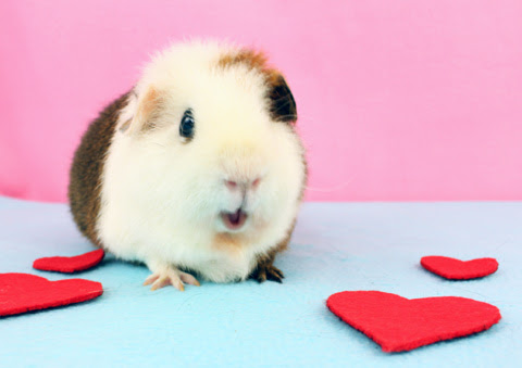 How to Perform Weekly Guinea Pig Health Checks